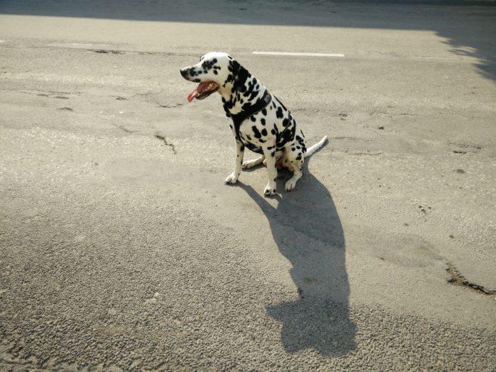 James, a dalmatian